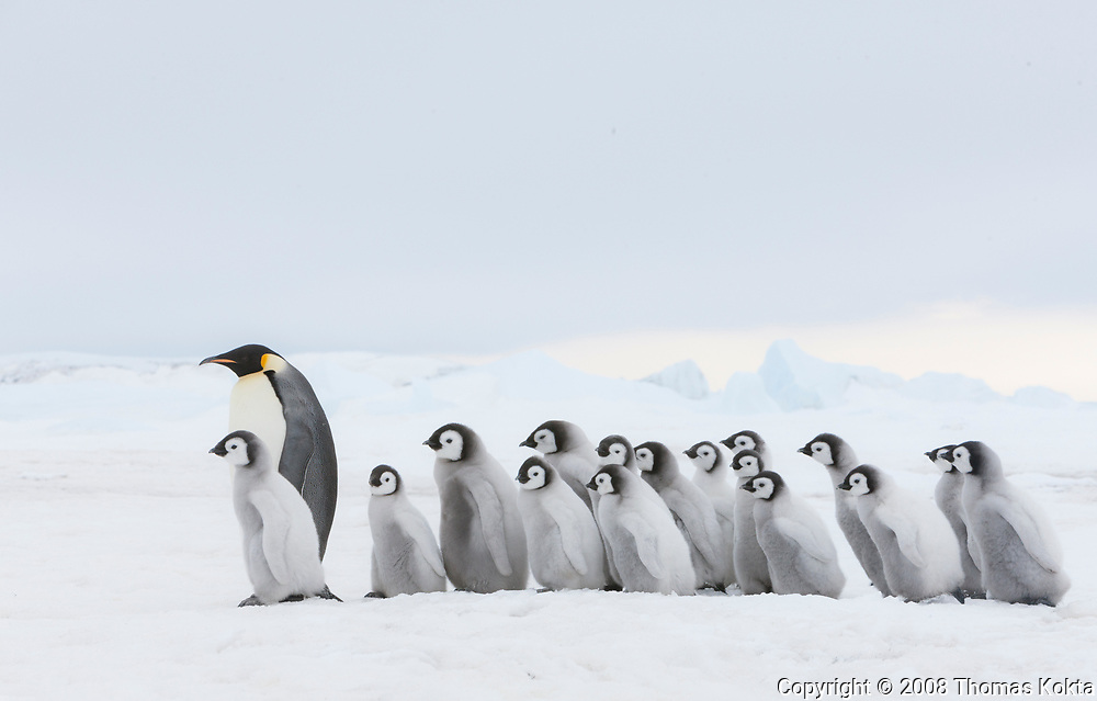 Group of Emperor penguin chicks following Emperor adult.