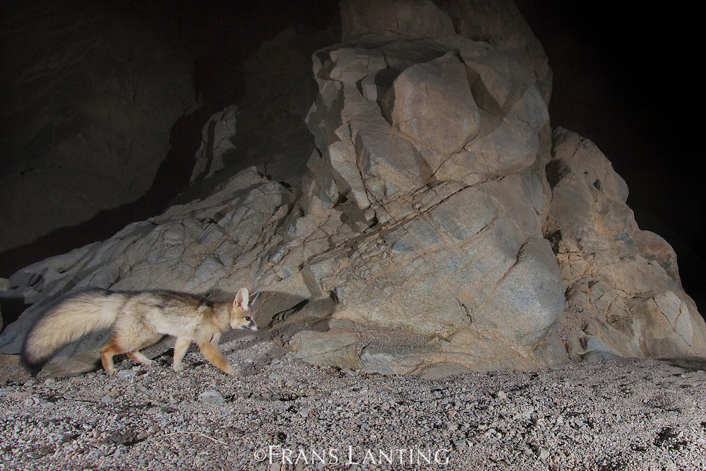 Blanford's fox caught by camera trap, Vulpes cana, Dar-e Anjir Wildlife Refuge, Iran