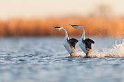 Western Grebes, Aechmophorus occidentalis, courtship rushing display, Marshall County, South Dakota