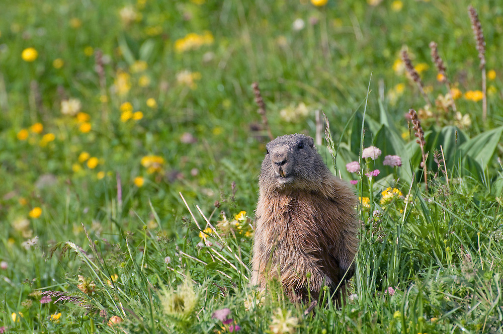 Alpine marmot; Marmota marmota, area around Grauspitz, Lichtenstein