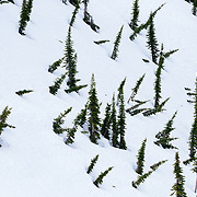 Bent over fir tree patterns in Glacier National Park.