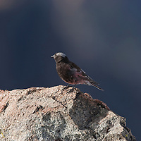 Grey crowned rosy finch. Beartooth Plateau, Wyoming.
