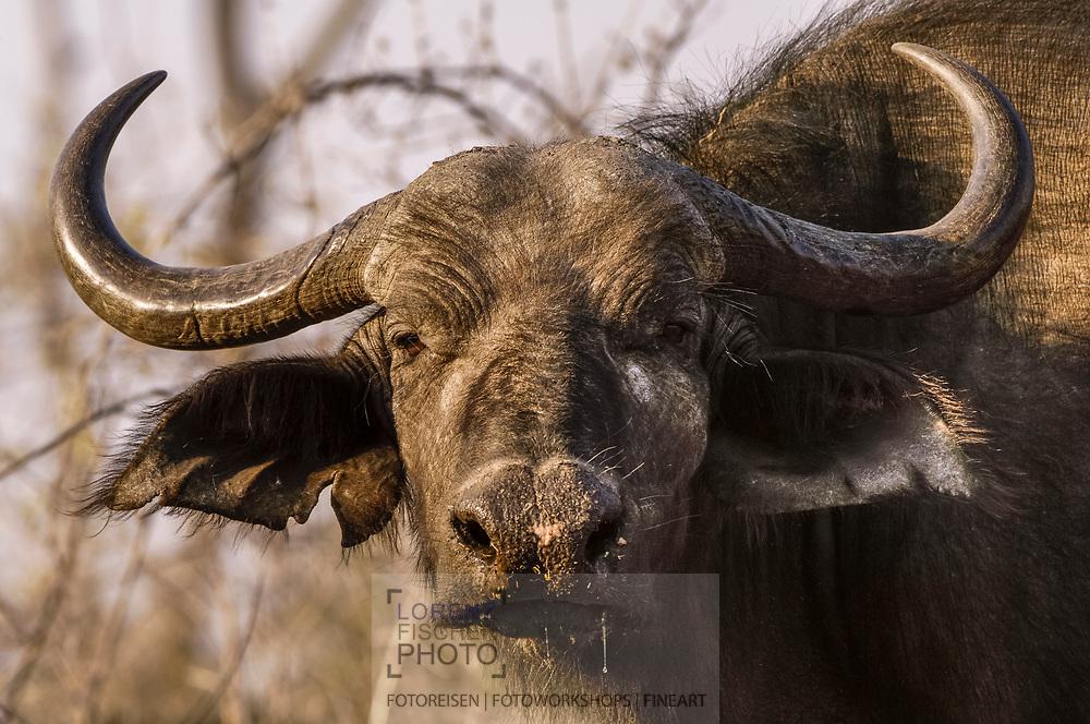 Alte Afrikanische Büffelkuh an der Riverfront im Chobe Nationalpark in Botswana