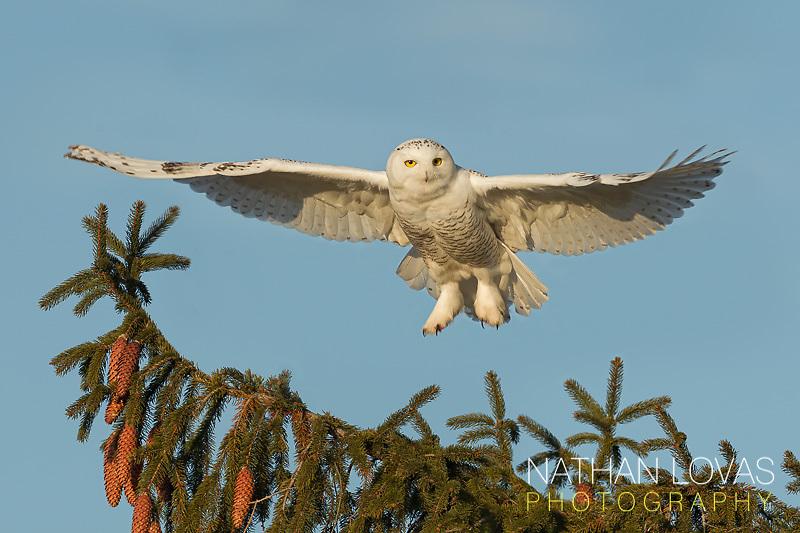 Snowy Owl (Bubo scandiacus) landing on spruce tree;  Minnesota.