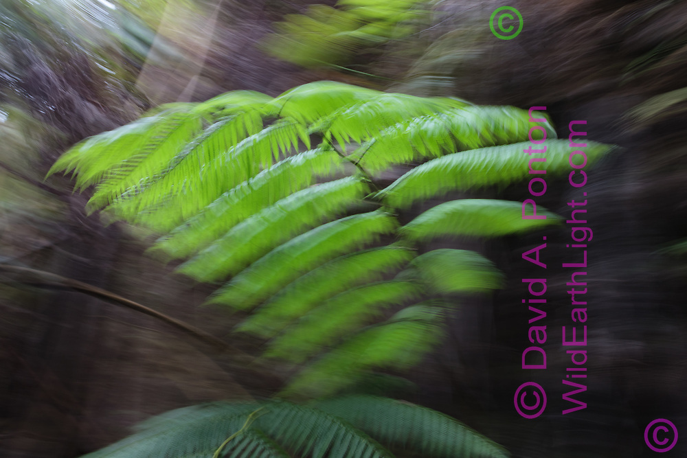 Hawaiian tree fern (Cibotium splendens) also called the hapu'u, in an old volcanic crater, photographed with translating and rotating camera to create the distinctive blur effect, in the rainforest of Hawaii Volcanoes National Park, © 2010 David A. Ponton