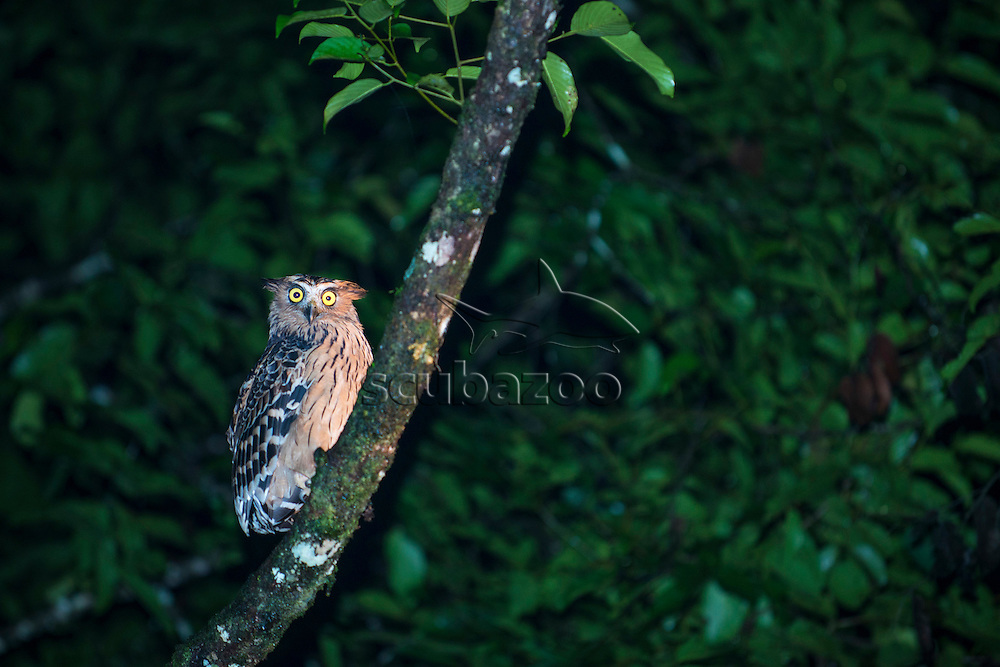 A buffy fish owl, Bubo ketupu, on a tree branch at night, Danum Valley, Sabah, Malaysia.