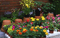 garden bedding plants including french marigolds, coleus and fucshia ready for planting out