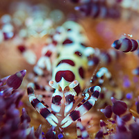 A pair of Coleman Shrimps, Periclimenes colemani, Anilao, Batangas, Philippines.