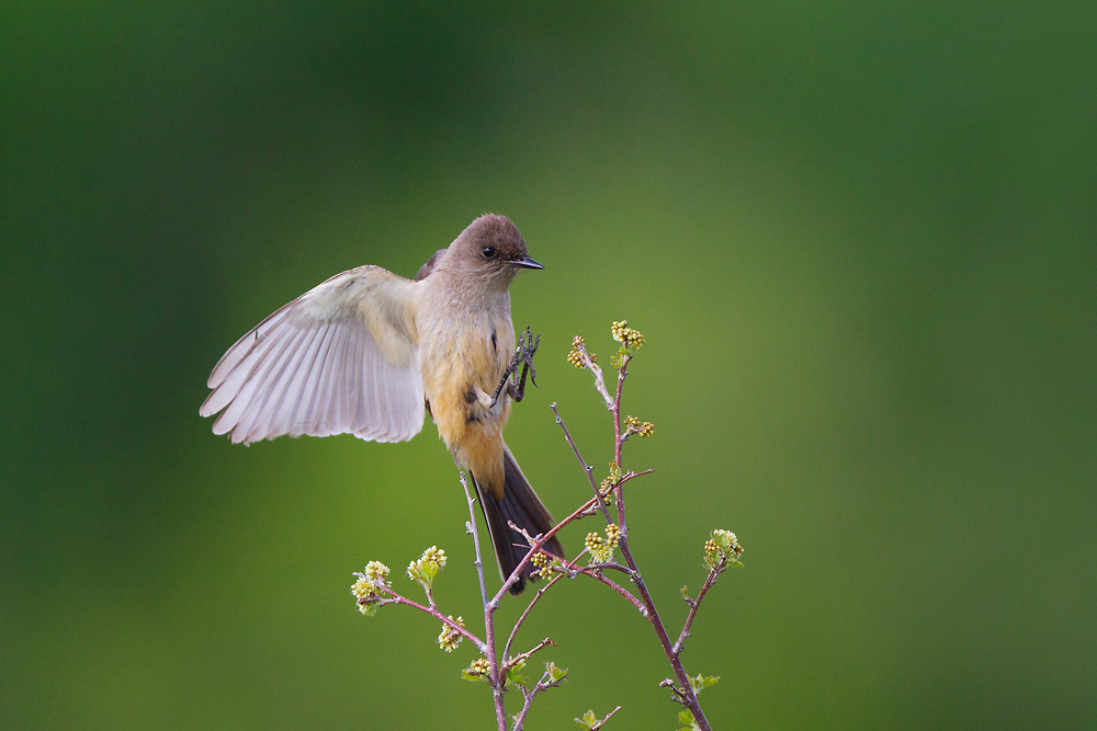 Stock photo of Says Phoebe captured in Colorado.  This large flycatcher catches insects from a low perch.