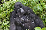 Mountain Gorilla<br /> Gorilla gorilla beringei<br /> Mother resting with her 5 month old twin babies<br /> Parc National des Volcans, Rwanda<br /> *Endangered species