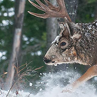 a mature trophy shooter muledeer buck charges ahead deep snow winter rut