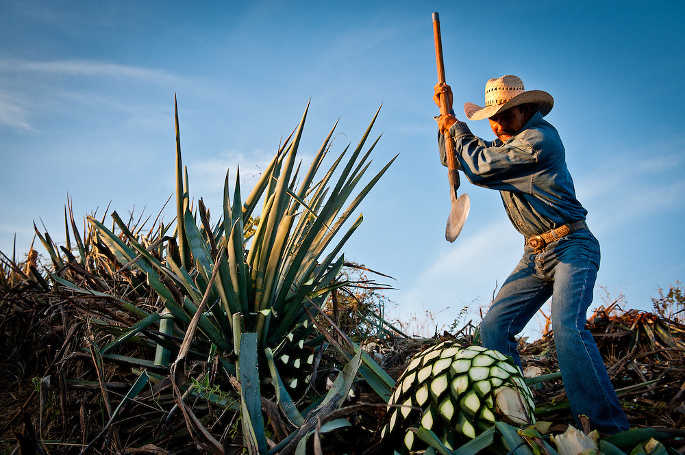 "A jimador uses a tool called a ""coa"" to harvest the heart, or ""piña,"" of blue agaves used to make tequila. Since there are not currently any industrial methods for agave harvesting, jimadors and their traditional tools remain vital to the tequila industry. Jimadors harvest hundreds of thousands of agaves each year, and they are also the first line of defense against potentially devastating insect infestations and fungal infections in the agave fields."