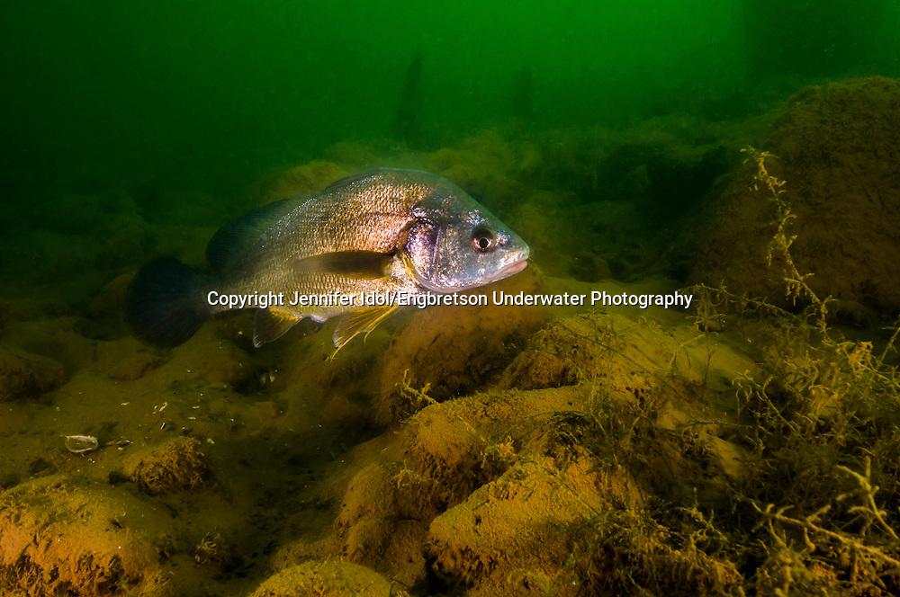 Freshwater Drum<br /> <br /> Jennifer Idol/Engbretson Underwater Photography