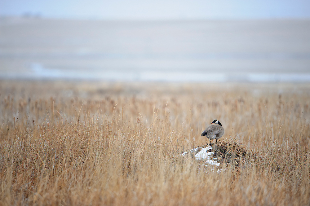 A Canada goose nests atop a muskrat lodge.  The high vantage point allows goose pairs to watch the surrounding marshy area for predators such as coyotes and bobcats.   Canada Goose (Branta canadensis), Central Montana