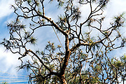 upwards view of a Japanese garden pine tree