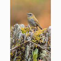 Black-billed NIghtingale-Thrush (Catharus gracilirostris) perched on mossy trunk in San Gerardo de Dota, Costa Rica, March, 2014.