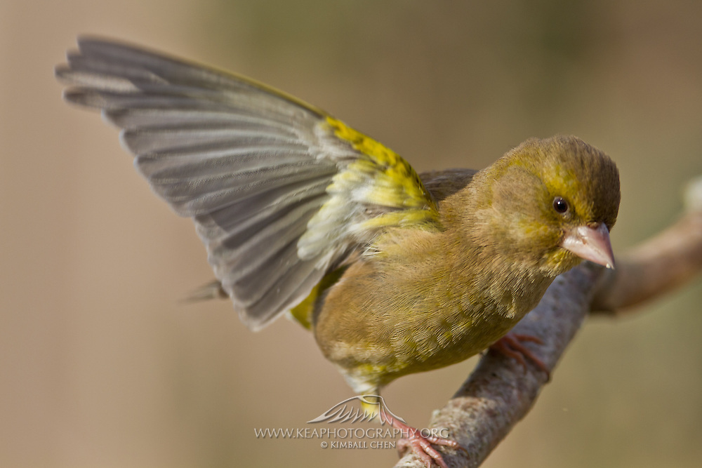 Greenfinch, New Zealand