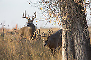 Two whitetail bucks in autumn habitat.