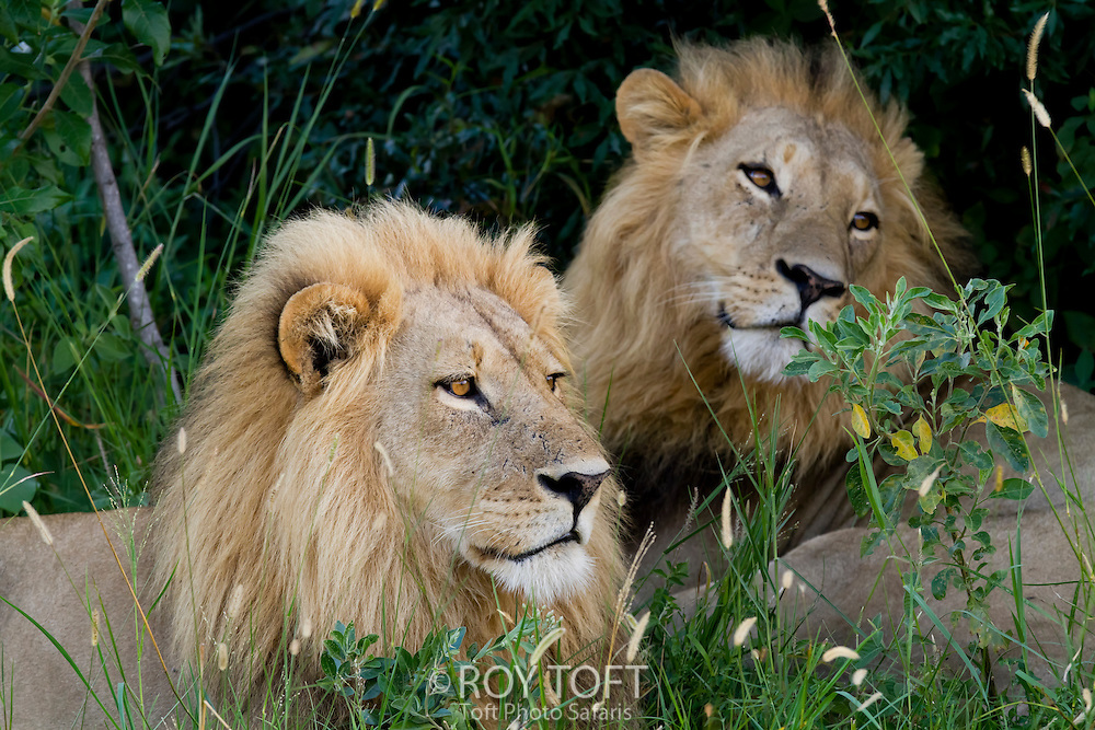 A pair of African lions sitting in the tall grass, Botswana, Africa