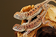 Pair of young Central Netted Dragons (Ctenophorus nuchalis) sitting on branch.  Native to arid regions of Central Australia.