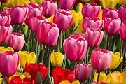 Reds, Pinks & Yellow Tulips