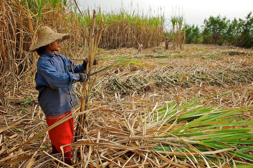the stem is separated from each cane and kept apart to be replanted. The rest will enter the sugar production chain.