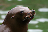 Californian sea lion