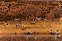 Sandhill Cranes, Bosque del Apache National Wildlife Refuge, near Socorro, New Mexico USA