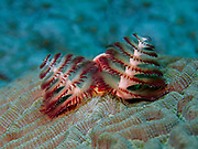 "A Christmas Tree Worm (Spirobranchus giganteus) buried within Brain Coral (Diploria strigose) extends its two ""crowns"" 45 feet below the surface of the Gulf of Mexico off the coast of Riviera Maya. Christmas tree worms are widely distributed throughout the world's tropical oceans, residing from the Caribbean to the Indo-Pacific.  The two Christmas tree-shaped multicolored spiral ""crowns"" per worm that protrude from the tube-like body are mouth appendages highly specialized for both feeding and respiration. These animals possess a complete digestive system, a well-developed closed circulatory system, and a nervous system with a central brain and many supporting ganglia.  The worms have two eyes that can detect light which are tucked under the crowns.  The eyes can be partially seen in this image as two brighter red oblong structures between the crowns at their base.  These adaptations allow Christmas tree worms to rapidly retract their crowns into their burrows at any sign of danger.  Interestingly, the nerves from these eyes do not go to the usual section of the brain associated with vision, and the light-sensitive proteins in the eyes called opsins are not the typical eye variety.  Christmas tree worms come in a wide variety of bright colors and are generally about 1.5 inches (3.8 cm) in length."