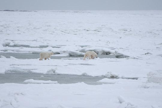 polar Bear (Ursus maritimus) a bear breaks through the thin ice at  Cape Churchill, Manitoba