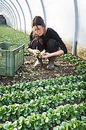 SCHWEIZ - MEISTERSCHWANDEN - Eine junge Frau erntet Nüsslisalat im Gewächshaus - 01. Februar 2017 © Raphael Hünerfauth - http://huenerfauth.ch