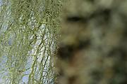 Lichen (Usnea dasypoga) on English oak tree (Quercus robur) near Norra Kvill National Park in Rumskulla socken, Smaland, Sweden