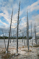 Dead trees in Lower Geyser Basin Yellowstone National Park
