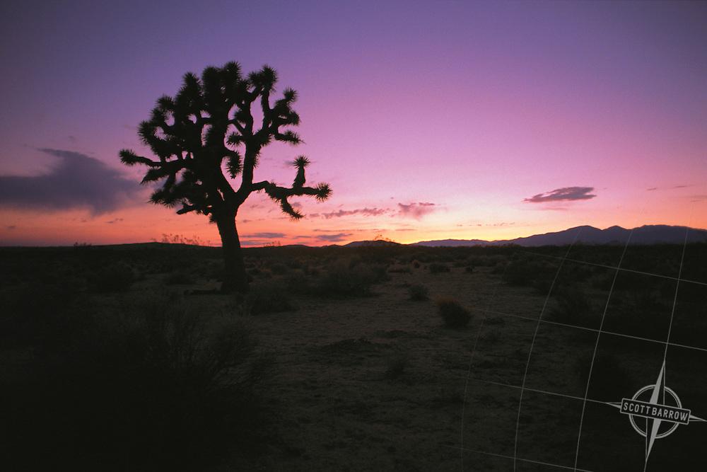 Joshua tree at sunrise or sunset.