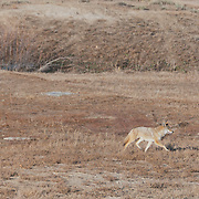 A coyote (Canis latrans) just off the road on US-36 to Boulder, Colorado.  Photo by William Byrne Drumm.