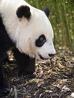Giant panda, Ailuropoda melanoleuca, portait, standing position, bamboo background.