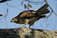 Photographer: Kyle Reynolds. Bird Species: Red Tailed Hawk. Location: NY. Date Taken: 11/12/10