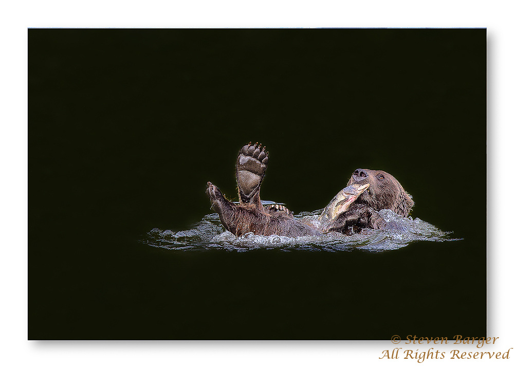 Grizzly playing with a salmon caught in the dark waters of the Nakina River in British Columbia.
