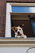 Dog looking out a window, The Hague, Netherlands