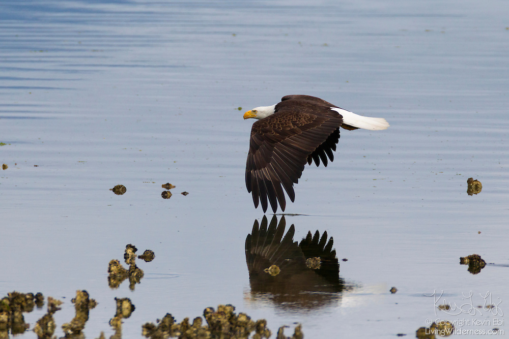 An adult bald eagle (Haliaeetus leucocephalus) flies over the Hood Canal, located on the Olympic Peninsula of Washington state. Hundreds of eagles congregate in the area near Seabeck early each summer to feast on migrating midshipman fish that get trapped in oyster beds during low tides.