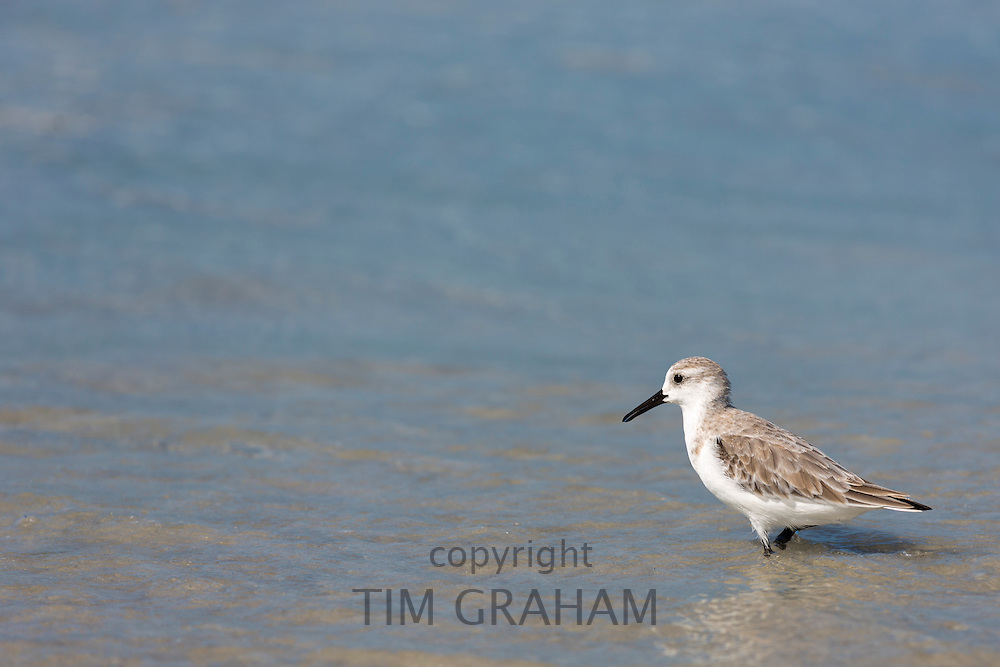 Sanderling, Calidris alba, one of the wading shorebirds, stepping in the surf on shoreline at Captiva Island, Florida USA