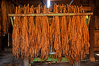 Tobacco air cures in a barn at the Mountain Research Station and farms in Haywood County.