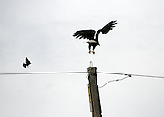 Bald Eagle taking flight with blackbird in pursuit