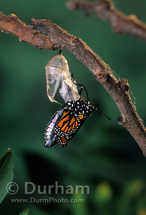 Emerging monarch butterfly (Danaus Plexippus). The butterly is pushing itself out of the chrysalis casing. (7 0f 11).