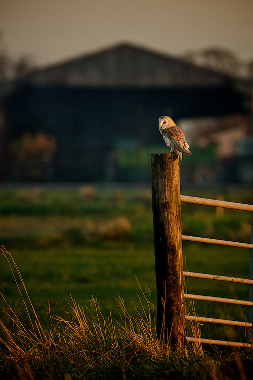 Barn Owl on a fence post