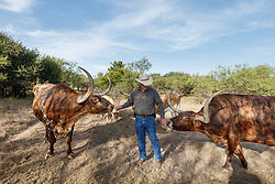 Texas longhorns from Official State of Texas Longhorn Herd and Will Cradduck, Herd Manager, Fort Griffin State Historic Site, Albany, Texas USA.