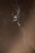 Spider from the genus Gea photographed in Tabin National Park, Sabah, Borneo.