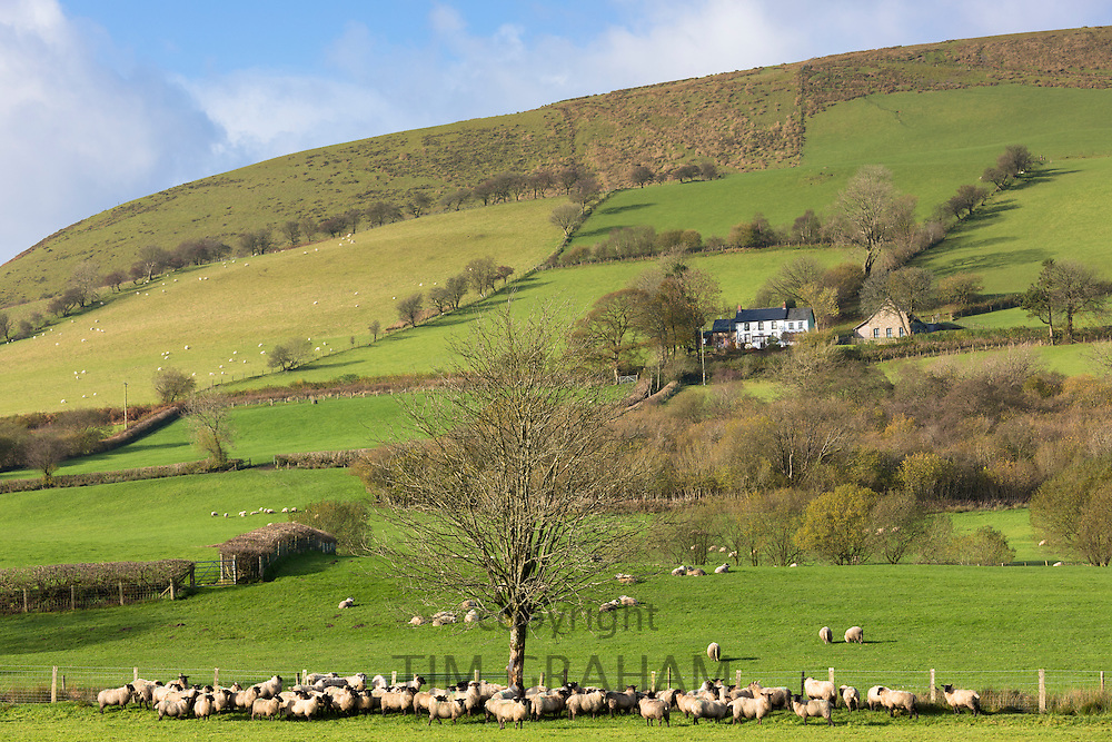 Sheep and a hill farm in a picturesque valley in the Brecon Beacons mountain range, Wales, UK