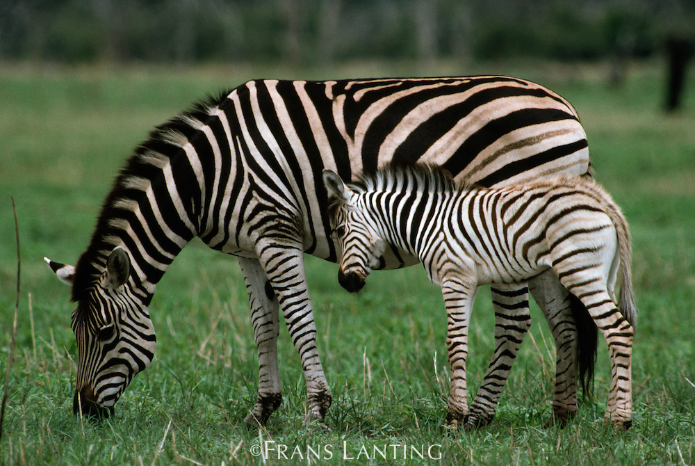 Burchell's zebra mother and young, Equus burchelli, Chobe National Park, Botswana