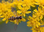 Flower Fly; Toxomerus geminatus; on goldenrod; PA, Philadelphia; Morris Arboretum